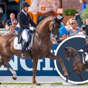Embryo auction horse D'Avie Sandro Hit